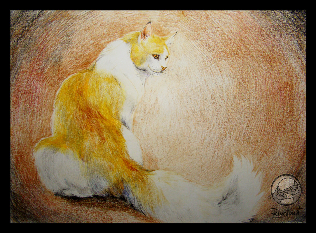 maine coon cat domestic drawing coloured pencils  Maine Coon