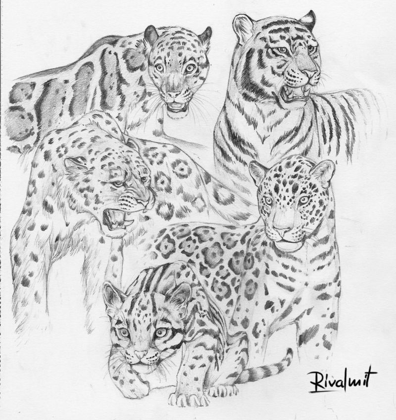 cat tiger leopard jaguar drawing lineart Drawings Wild cats  Drawings
